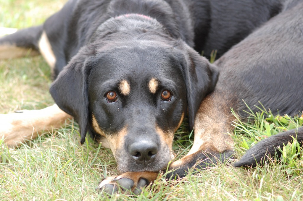 Autumn, a black and tan labrador shows off her expressive face and orange eyebrows for the camera.