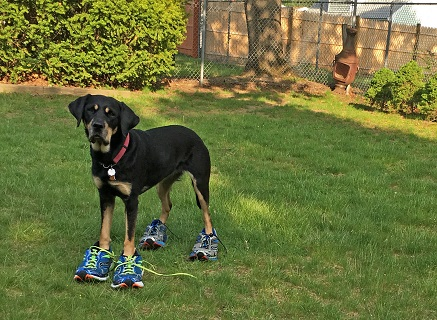 Autumn is standing in Randy and Tracy's back yard in Nashua NH, facing the camera, with two pairs of Randy's running shoes on her feet!