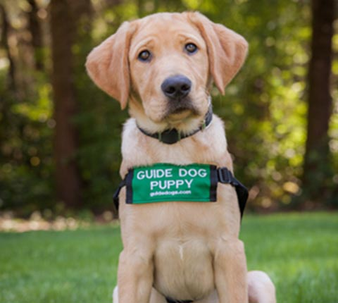 An adorable Yellow Labrador Retriever guide dog in training with a Guide Dog Puppy sign around its neck looks alertly directly at you