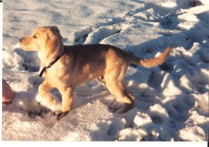 A golden retriever puppy running in the snow.