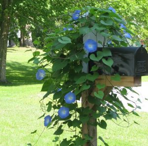 Blue morning glories wrapping around a mailbox in the sun.