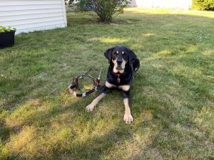 Autumn, a black and tan lab in the grass next to an empty harness.