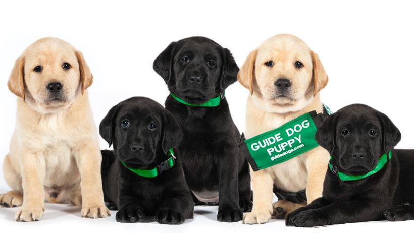 "A group of black and golden lab puppies with a green sign that say ""GUIDE DOG PUPPY""."